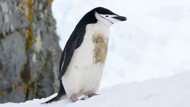 Állszíjas pingvin a hóban