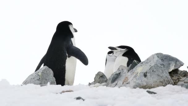 Podbradní pásek tučňáci na hnízdě