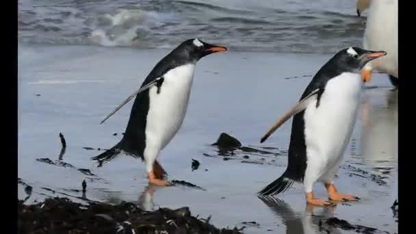 Gentoo Penguins pěšky zpátky do hnízda