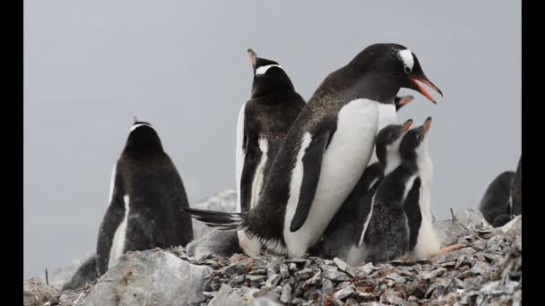 Gentoo Penguin with chicks in the nest
