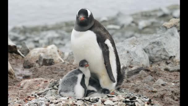 Gentoo pingvin csibék a fészekben