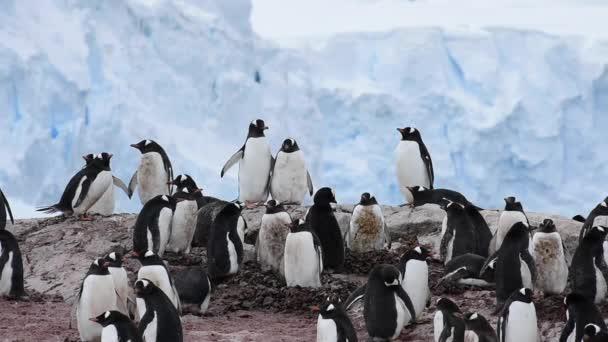 Pinguino di Gentoo sul nido