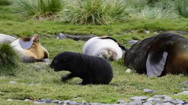 Antarktida kožešinová pečeť štěně detail v trávě