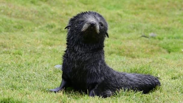 Antarctic fur seal pup close-up in grass