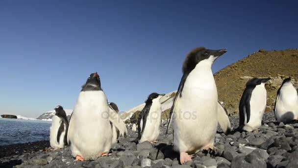 Chiks Gentoo e pinguini di Adelia