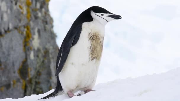 Podbradní pásek Penguins na sněhu