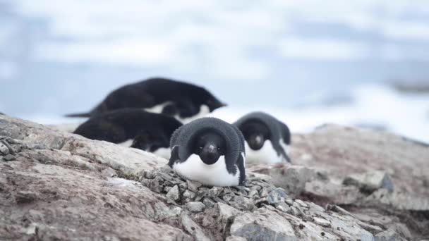 Adelie Penguins on the nest
