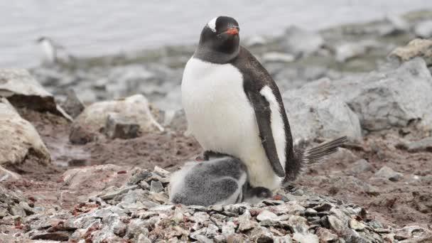 Gentoo pingvin csibék a fészek