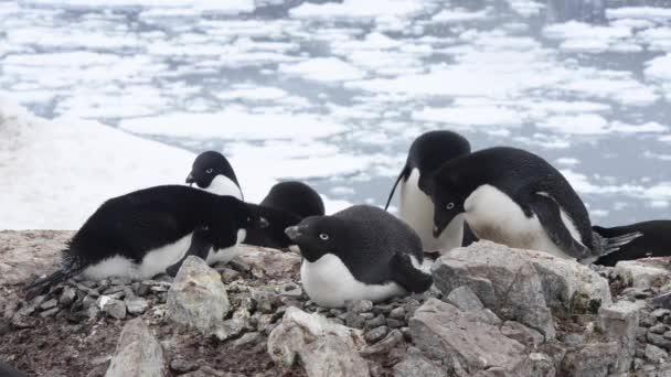 Adelie pingvinek a fészek