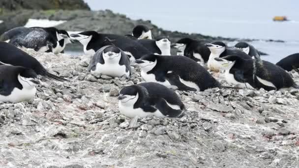 Pinguini di Chinstrap sul nido