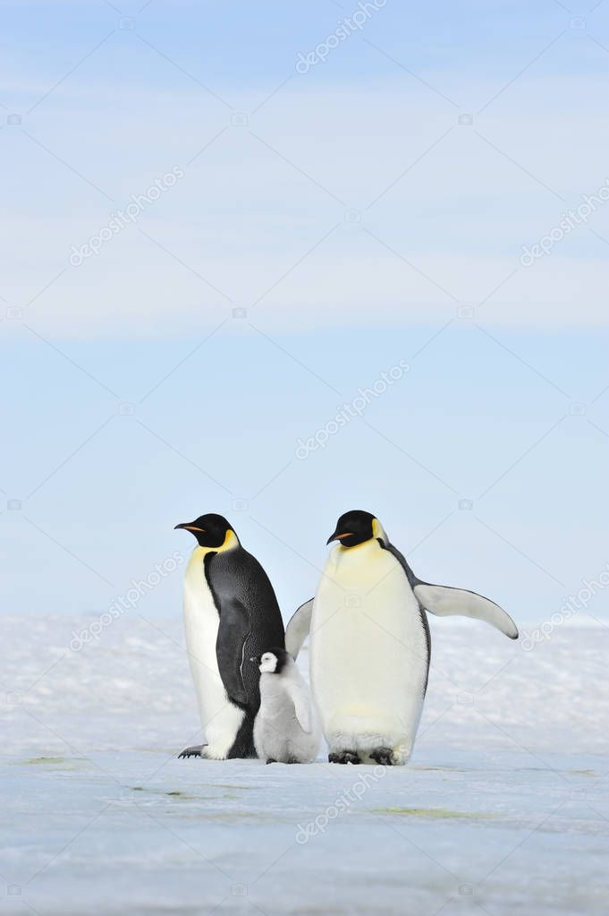 Emperor Penguins on the ice