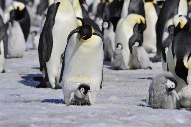 "Картина, постер, плакат, фотообои ""Императорские пингвины с цыпленок"", артикул 153043382"