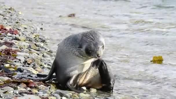 antarktische Pelzrobbe am Strand