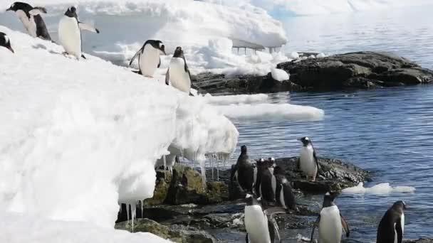 Pinguino di Gentoo sul ghiaccio