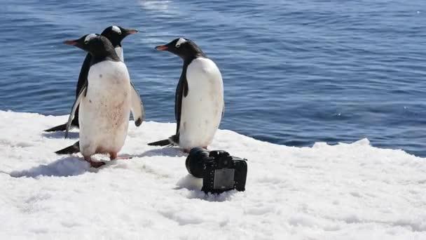 Gentoo Pingvin a jégen.