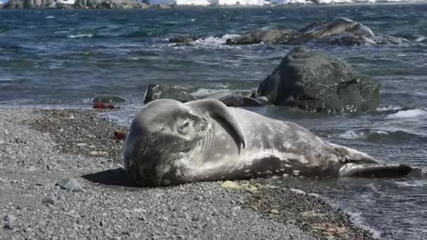 Weddell seal pup on the beach