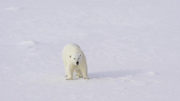 Polar bear walking on the ice.