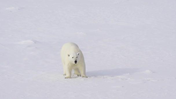 Lední medvěd na ledě