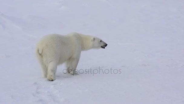 Lední medvěd na ledě.