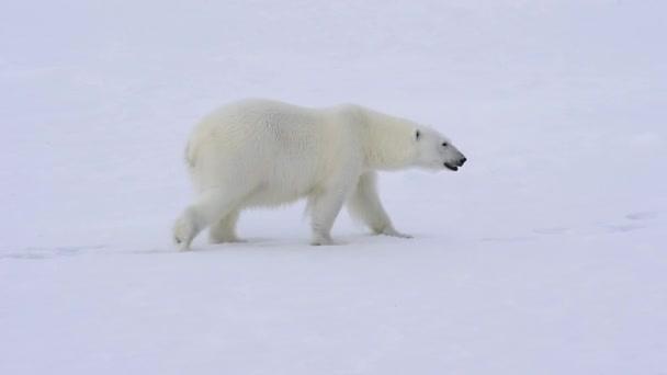 Polar bear walking on the ice.