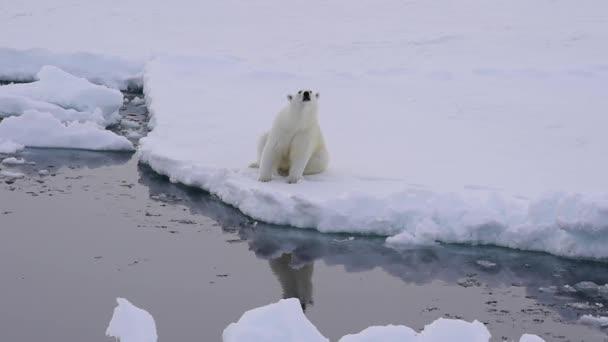 jegesmedve a jégen