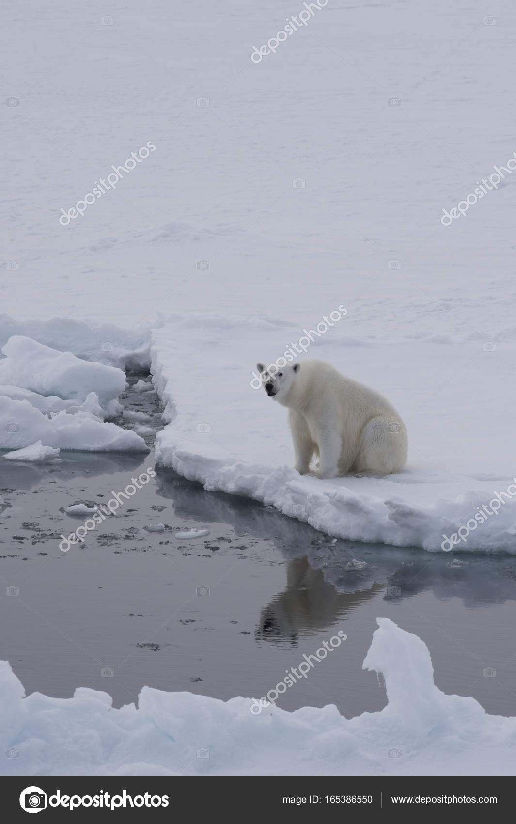 медведь отражающийся на льду фото автор заняли две