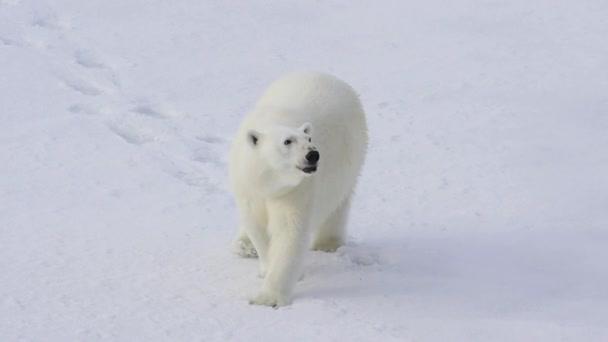 Lední medvěd v arktických oblastí