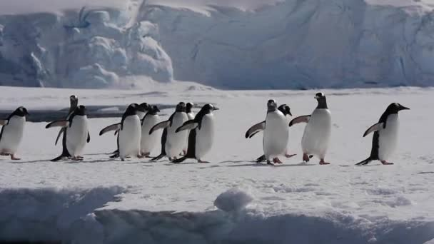 Gentoo tučňák na ledě