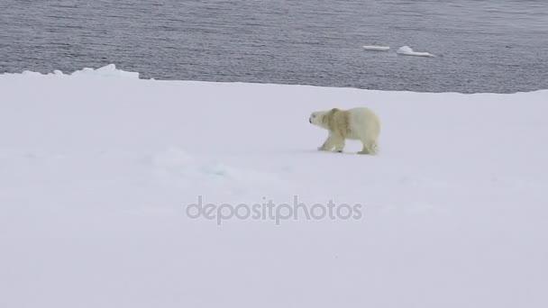 Lední medvěd v arktických oblastí.