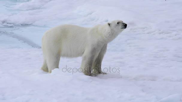 Jegesmedve sétál a sarkvidéken.