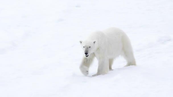 Lední medvěd kráčí v arktické.