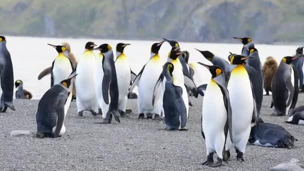 Király pingvinek a Dél-Georgia