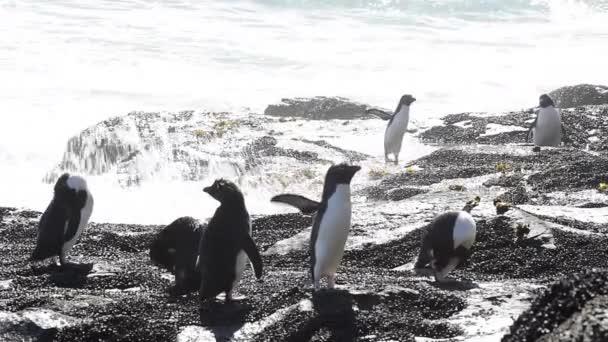 Rockhopper penguins Falkland Island