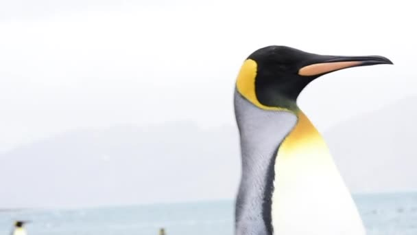 King Penguins walk on beach