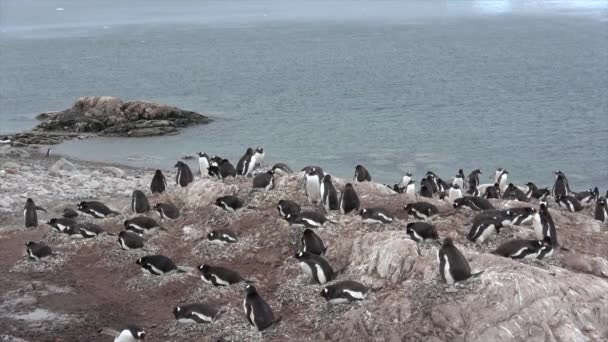 Gentoo pingvin csaj