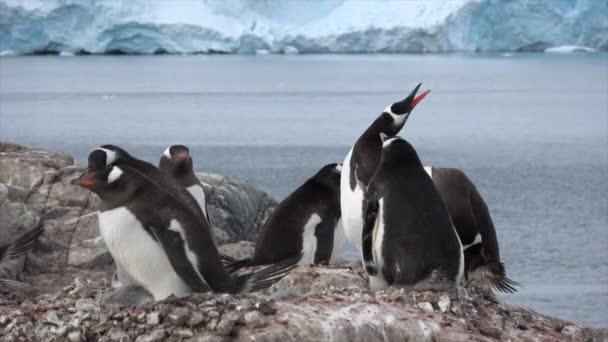 Gentoo pingvin csaj a fészken költő állatok