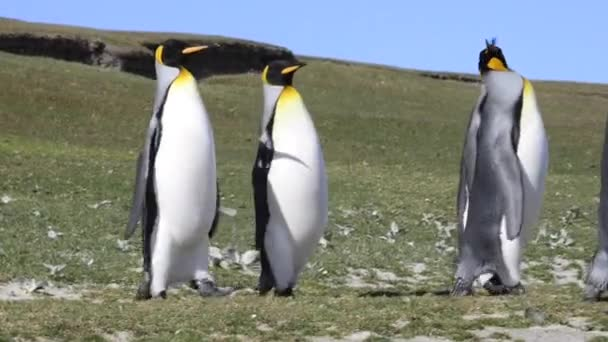 Király pingvinek a Falkland sziget