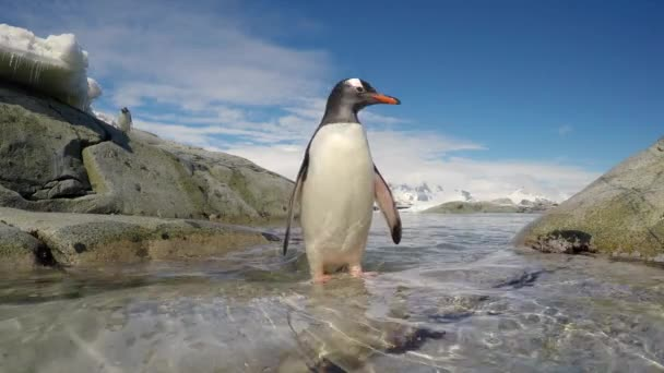 Gentoo Penguin jump out the water