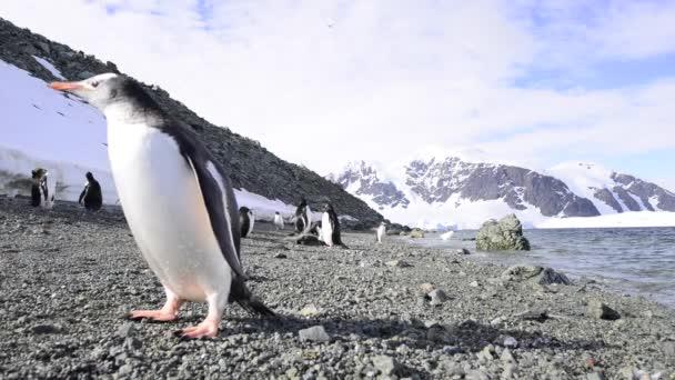 Gentoo pingvin a bech a