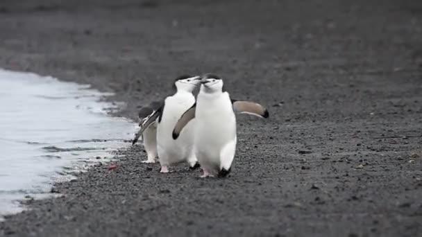 Podbradní pásek Penguins na pláži