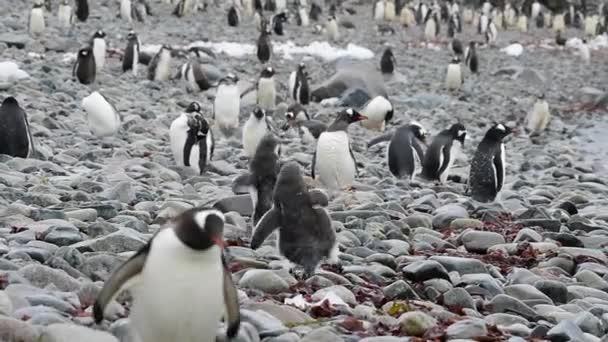 Gentoo Pingvinek a parton