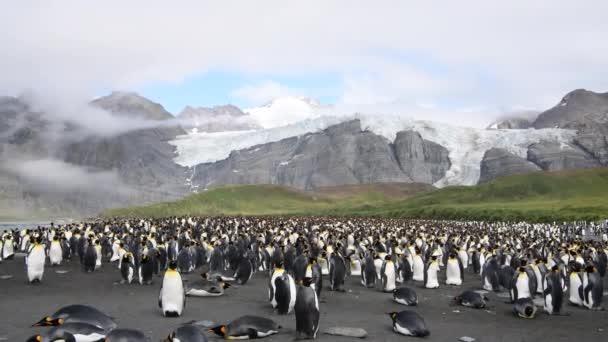 King Penguins kolónia Dél-Georgia