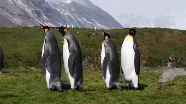 King Penguin a strandon Dél-Georgia