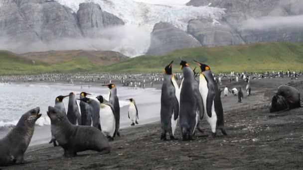 King Penguin a Fur Seal na pláži v Jižní Georgii