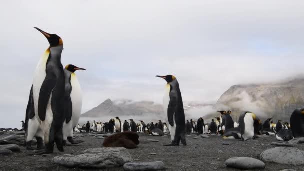 Král tučňák na pláži v Jižní Georgii