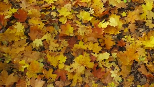 autumn yellow maple leaves