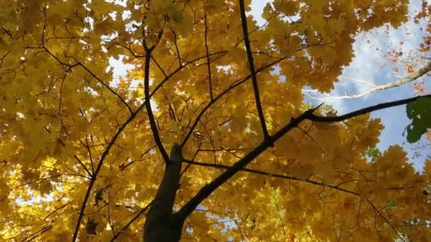 podzimní žluté Javorové listy