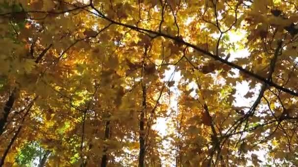 őszi sárga maple forest