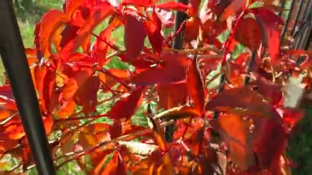 Színes crimson sárga narancs lila őszi levelek háttér. Természetes hátteret