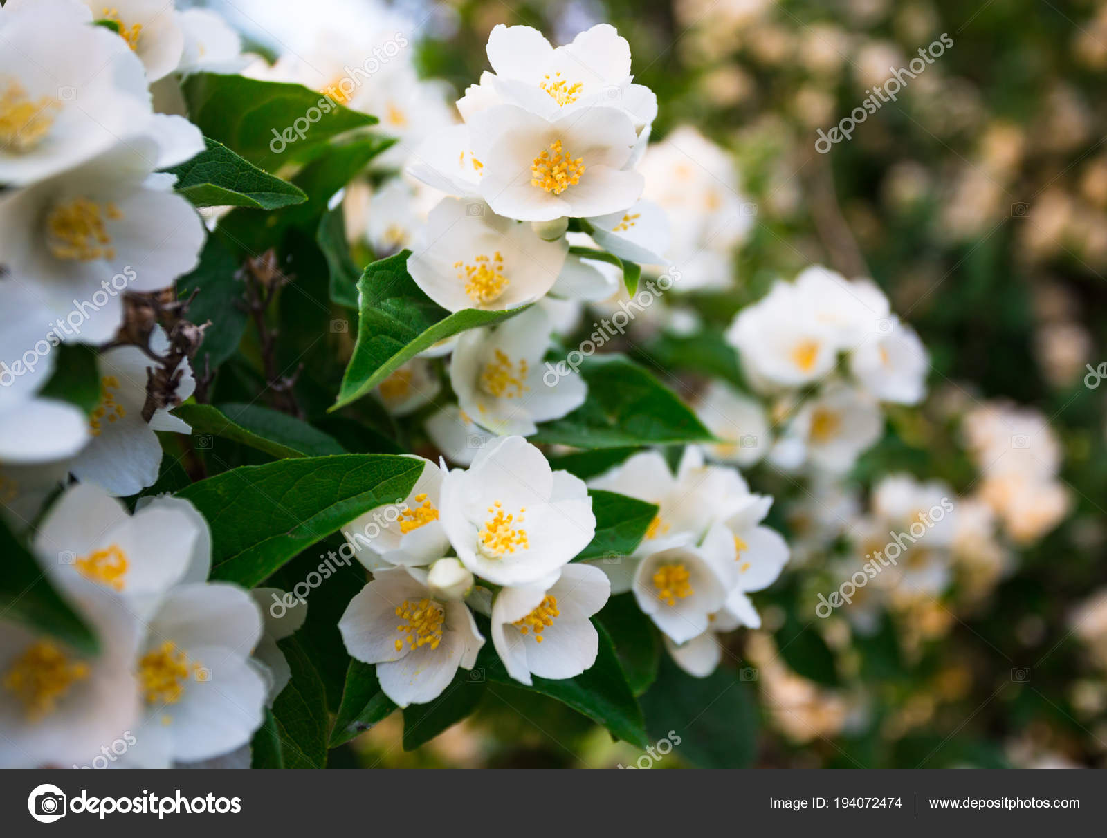 Fleur Jasmin Feuilles Vertes Gros Plan Photographie Alan64